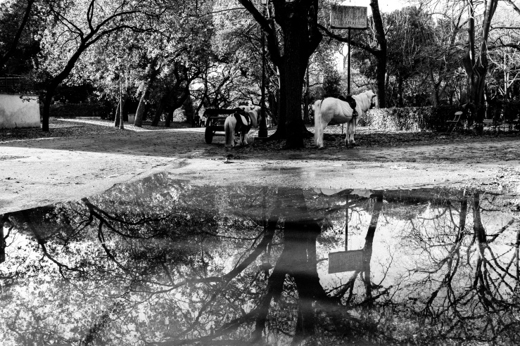 A black and white street photograph of a tree and horses reflecting in a pond at Villa Borghese Gardens, Rome